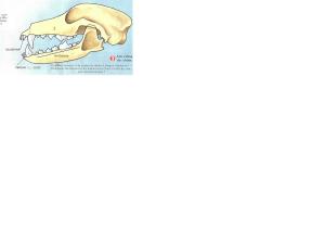 crâne chien CM1
