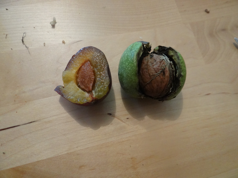 Le ons de choses les noix grandir pr s du ch taignier for Quand ramasser les noix