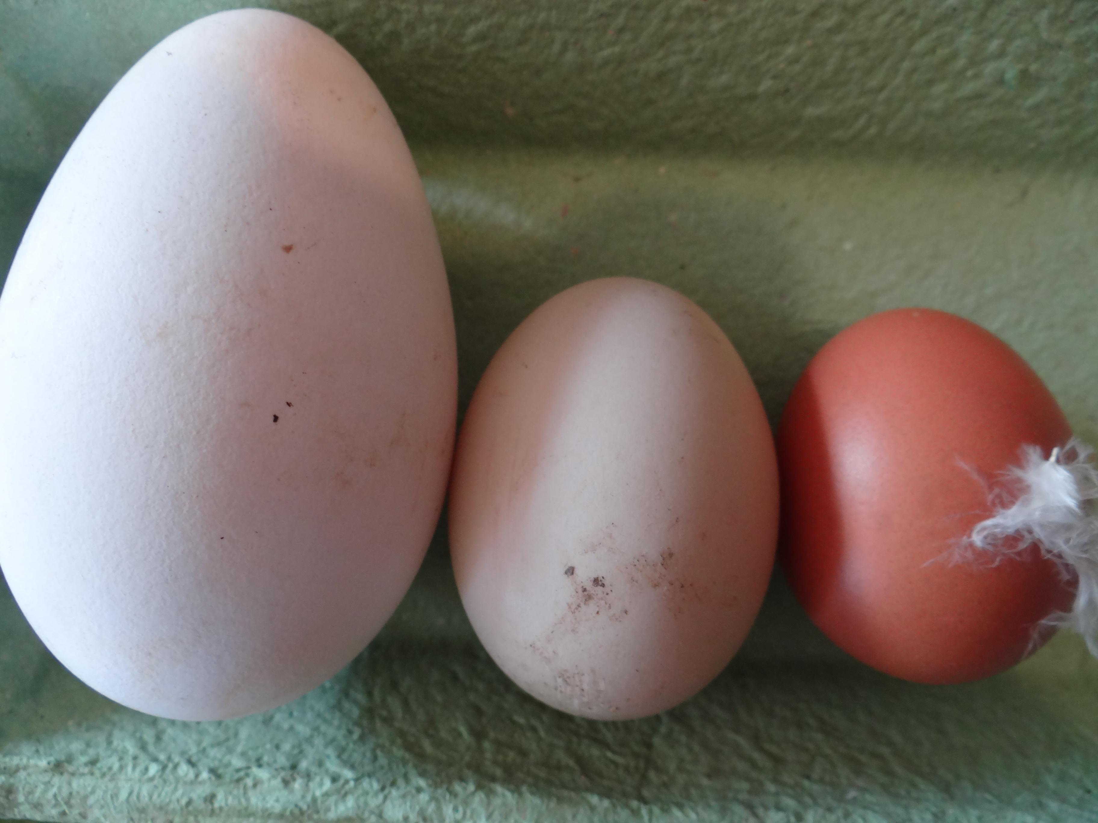 Le on de choses sur les ufs de poule de cane et d oie grandir pr s du ch taignier - Cuisiner les oeufs ...