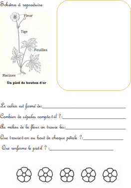 Bouton d'or 2