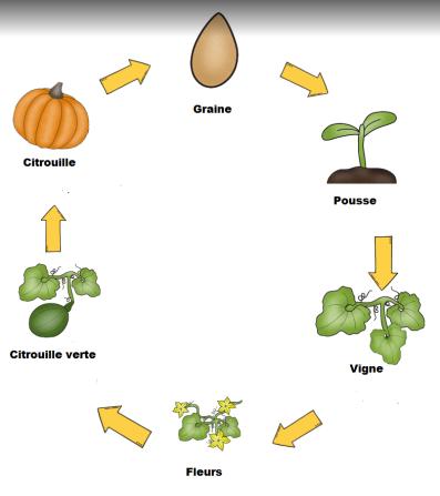 Cycle de la citrouille